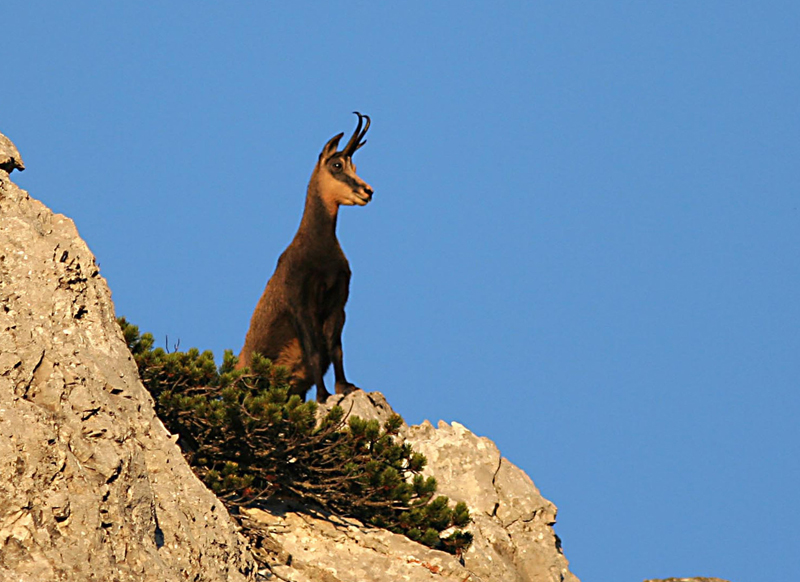 Berchtesgaden National Park, Germany - A beautiful chamois in the park