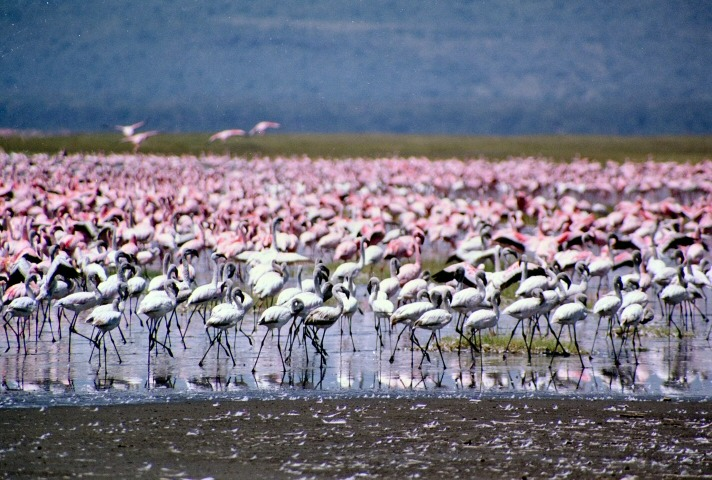 Lake Nakuru in Kenya - Flamingos at Lake Nakuru