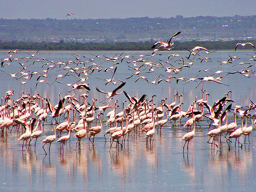 Lake Nakuru in Kenya - Flamingos at the lake
