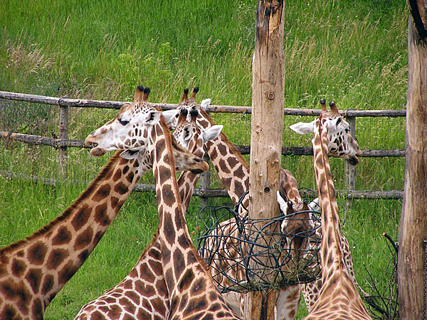 Prague Zoological Garden, Czech Republic - Giraffes at Prague Zoo