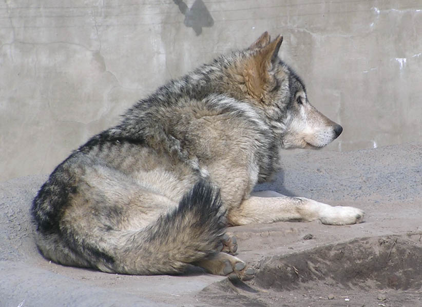 Moscow Zoological Garden, Russia - Wolves