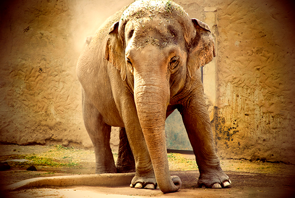 Rome Zoological Garden, Italy - Indian Elephant