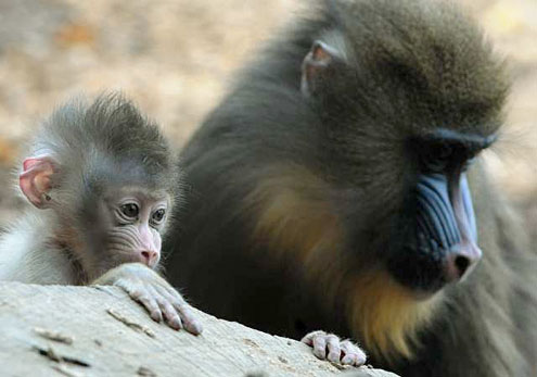 Rome Zoological Garden, Italy - Mandrill