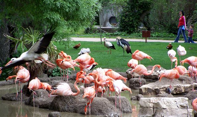 Madrid Zoo & Aquarium - Flamingos
