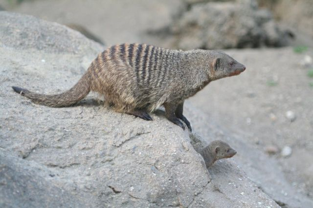 Copenhagen Zoological Garden in Denmark - Banded Mongoose