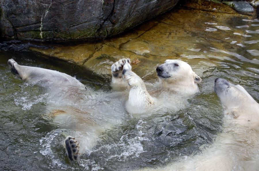 Copenhagen Zoological Garden in Denmark - Polar Bear
