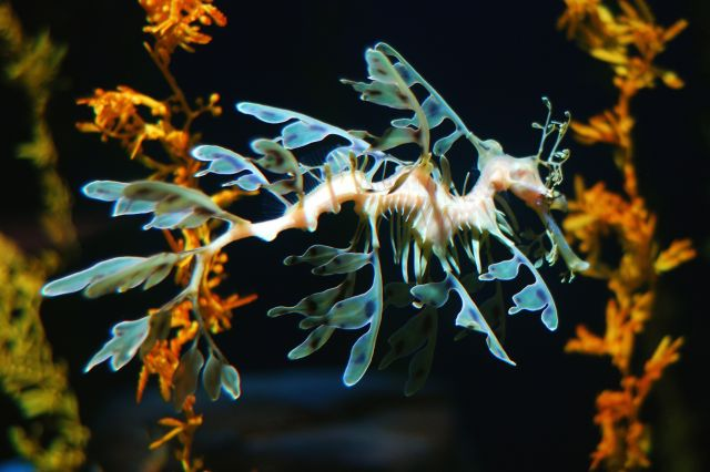 Leafy Sea Dragon - Amazing colours