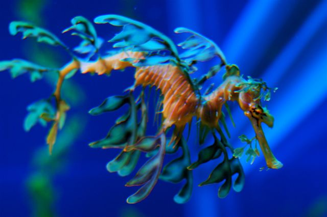 Leafy Sea Dragon - Impressive creature