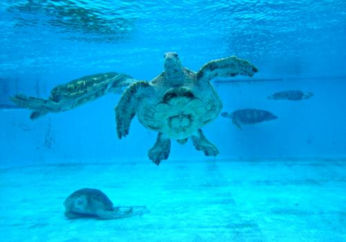 The Okinawa Churaumi Aquarium, Japan - Sea Turtles