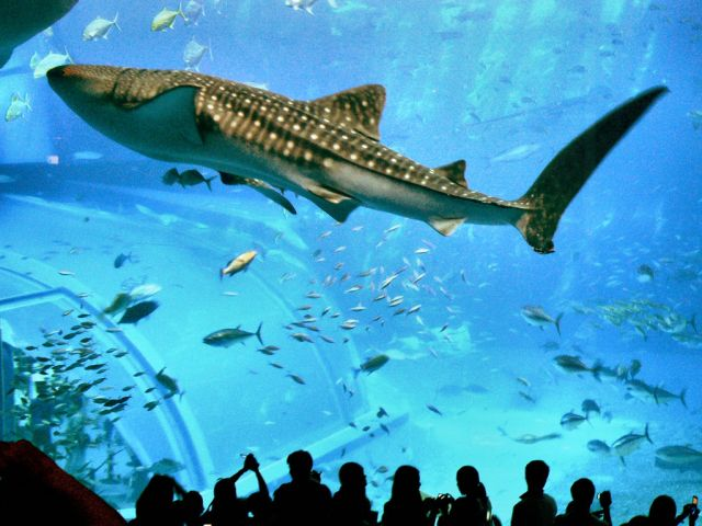 The Okinawa Churaumi Aquarium, Japan - Whale Shark