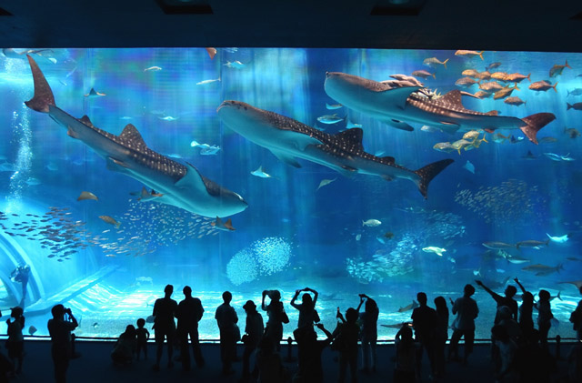 The Okinawa Churaumi Aquarium, Japan - Whale Sharks