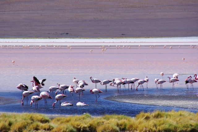 Red Lagoon in Bolivia  - Flamingos at Red Lagoon