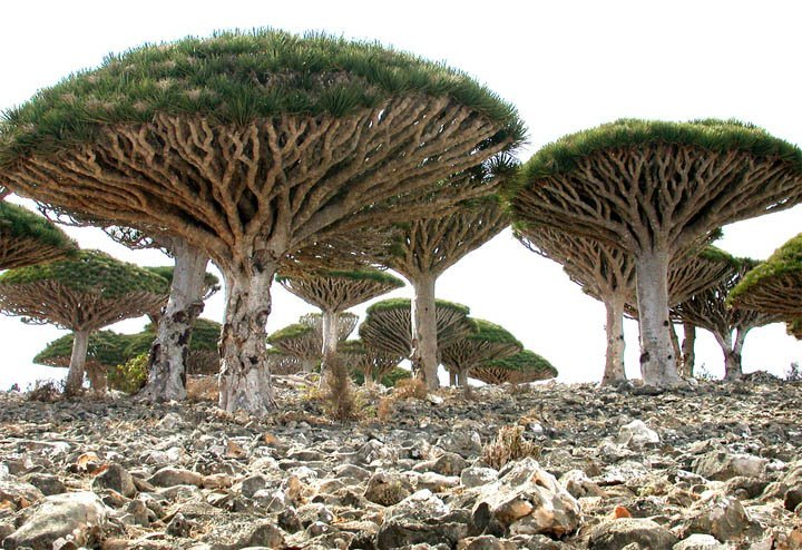 Socotra Island in Yemen - Dragon Blood Tree