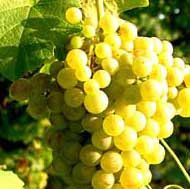 Pistoia Wine Tour - White wine production