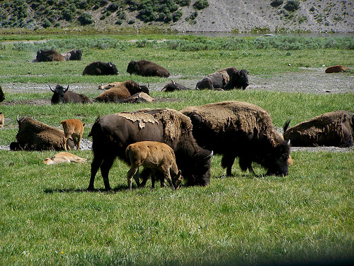 The Yellowstone National Park in Wyoming, USA  - Yellowstone Buffalo