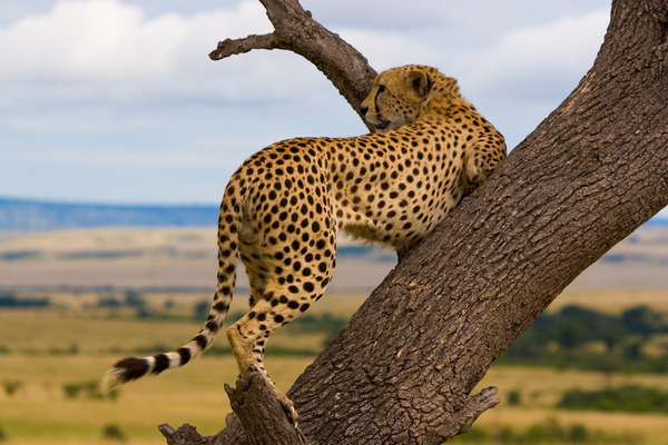 Kenya - Cheetah