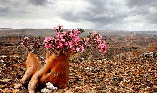 Socotra Islands archipelago - Wonderful flora