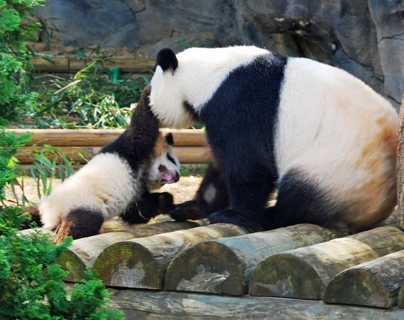 Zoo Atlanta - Happy Pandas
