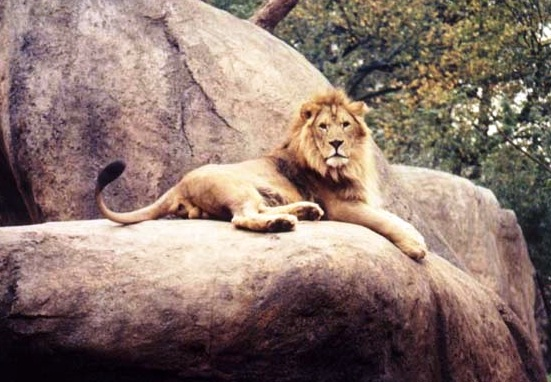 Zoo Atlanta - Strong lion