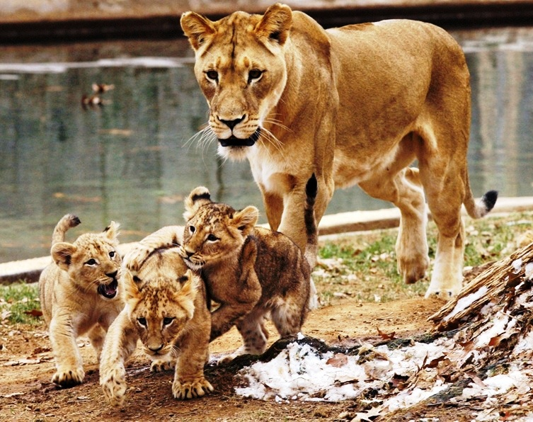 National Zoological Park - Lions