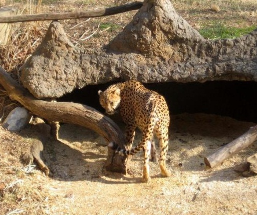 National Zoological Park - The cheetah