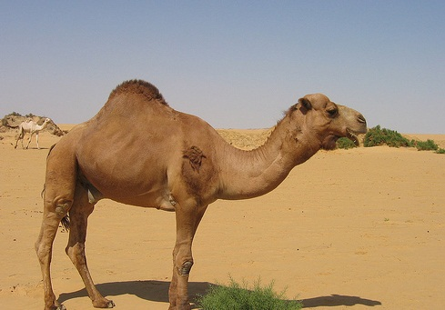 The Western Desert, Egypt-Arabian Romantic Adventure - Camel in the desert