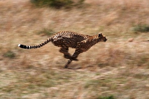 Cheetah-greatest fast runner - Running cheetah