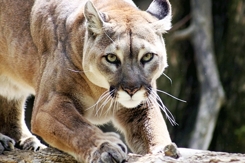 Lions-large cats - The Fastest Animals in the World