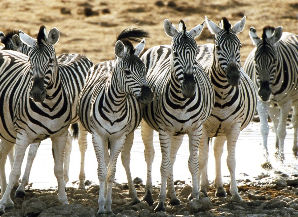 Zebra - Amazing animals