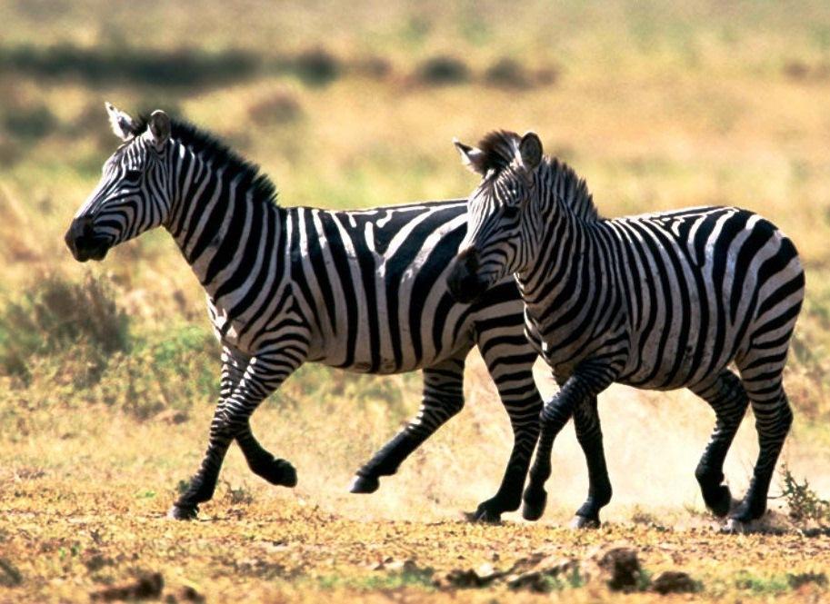 zebra running - photo #15