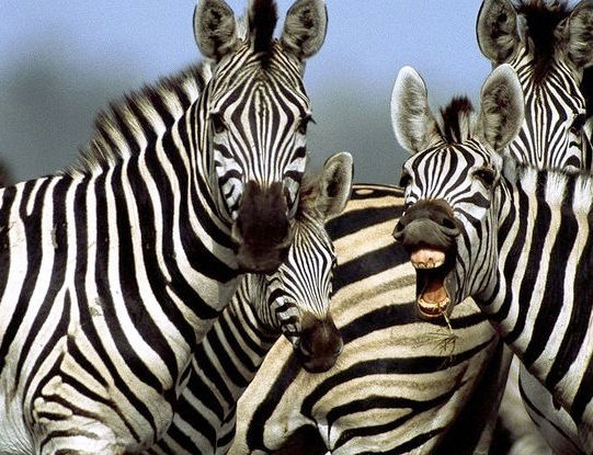 Zebra - Unique animals