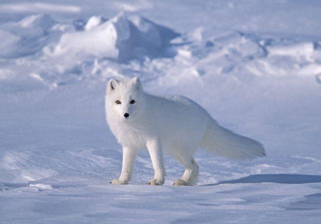 Images The Arctic Ocean Arctic Fox - Smallest ocean in the world