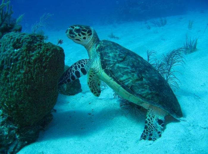 Images The Caribbean Sea Sea Turtle 14298