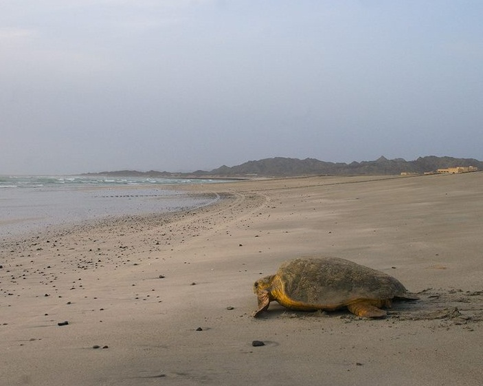 The Arabian Sea - Sea turtle