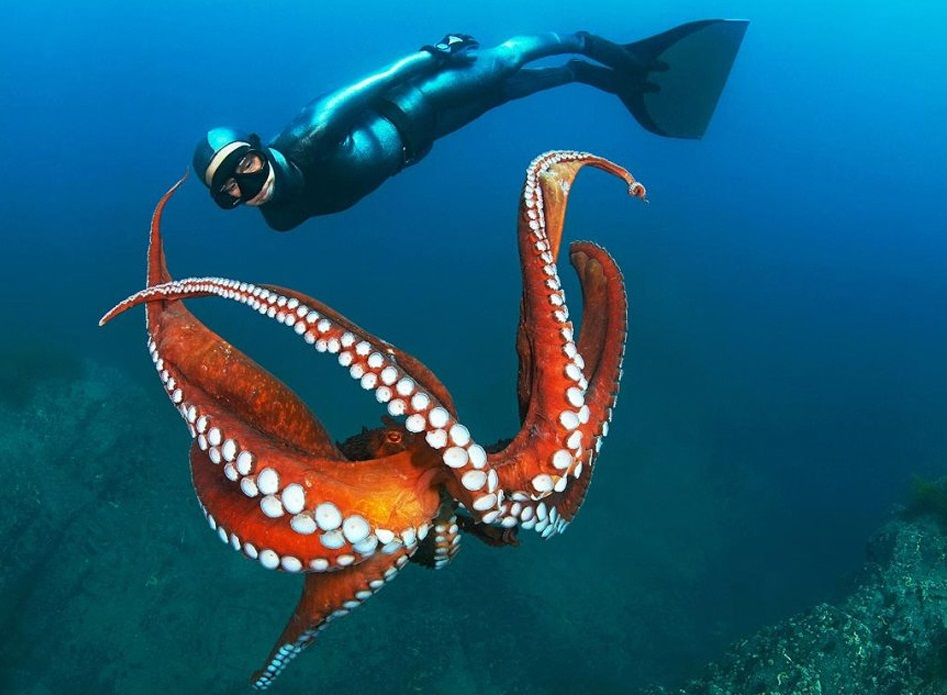 The Sea of Japan - Octopus in the sea