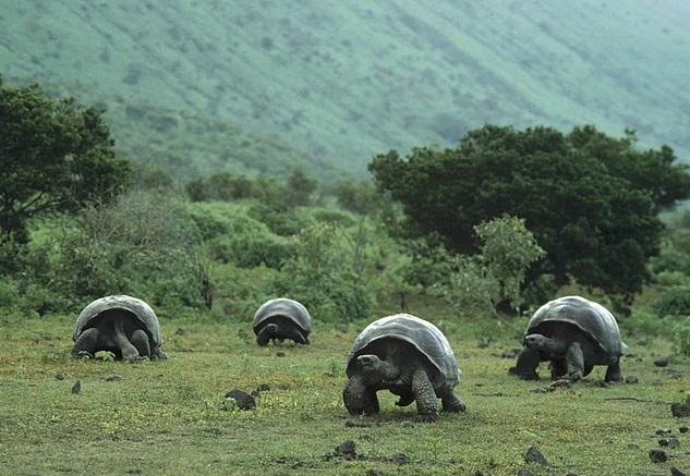 The Galapagos Islands - Isabela tortoises