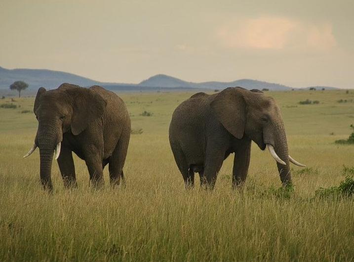 Masai Mara National Reserve, Kenya - Elephants sightseeing