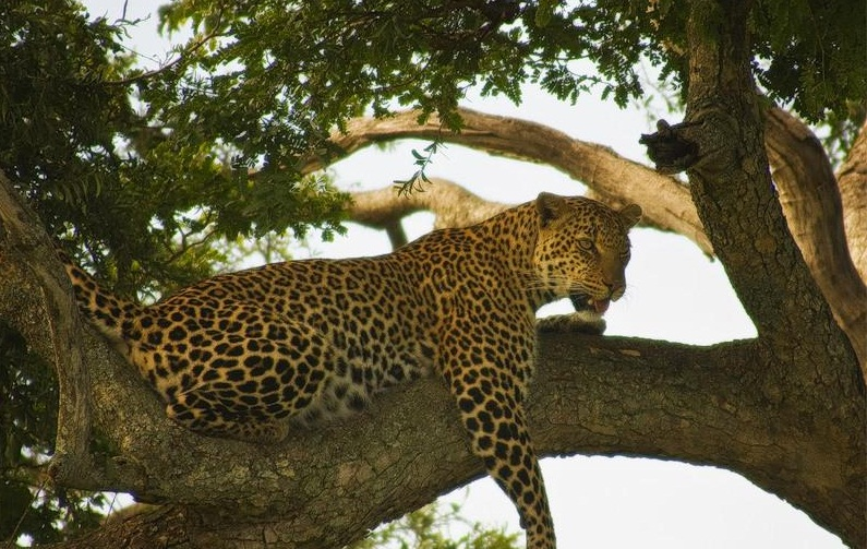 Masai Mara National Reserve, Kenya - Frightful animal on the tree