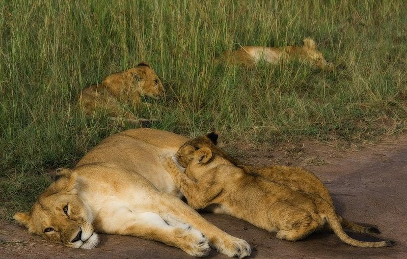 Masai Mara National Reserve, Kenya - The kings of animals