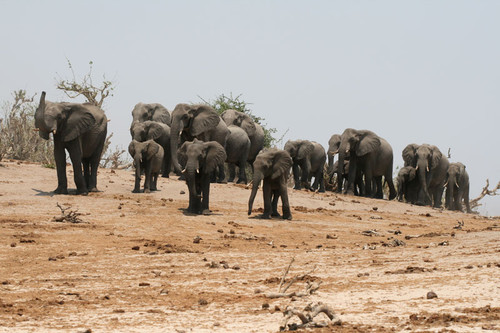 Chobe National Park, Botswana - Herd of elephants