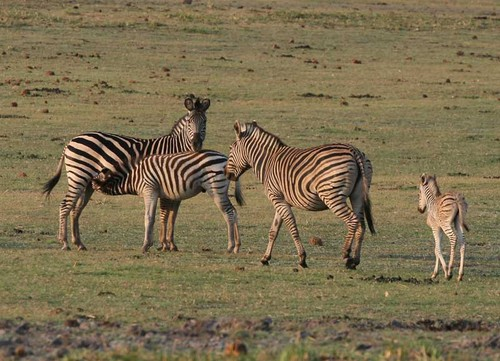 Chobe National Park, Botswana - Herd of zebras