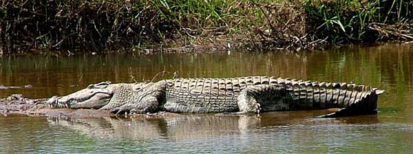 Kruger National Park, South Africa - Crocodile