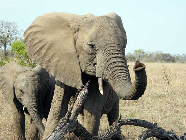 Kruger National Park, South Africa - Elephants