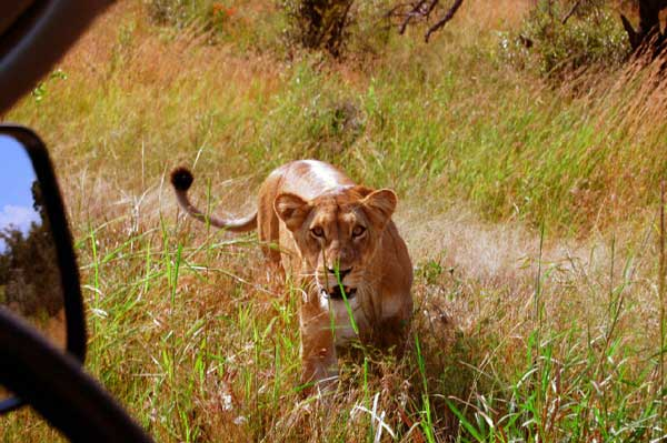 Kruger National Park, South Africa - Lion