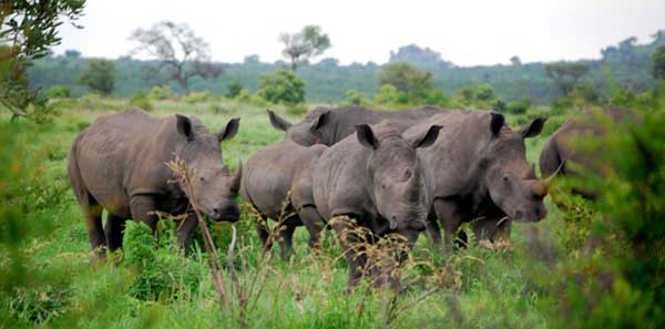 Kruger National Park, South Africa - Rhinoceros
