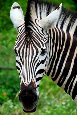 Kruger National Park, South Africa - Zebra
