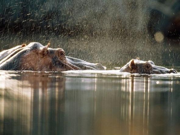 Images Loango National Park, Gabon Hippos of Gabon 15370