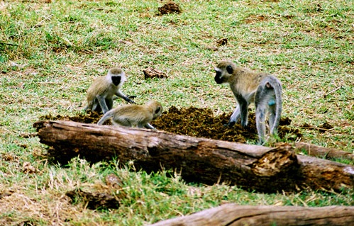 Ngorongoro  Conservation Area, Tanzania - Great monkeys