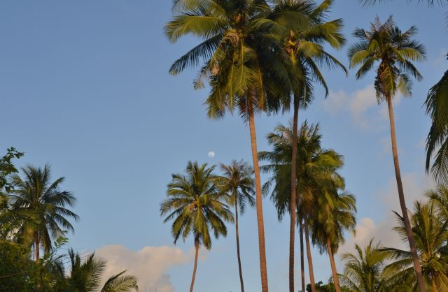 Samui – Fabulous Island - Swaying coconut palms