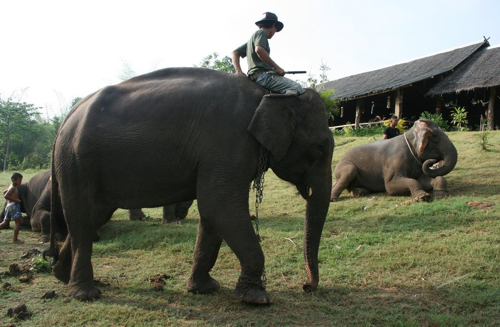 Elephant trekking - Majestic Thai elephants